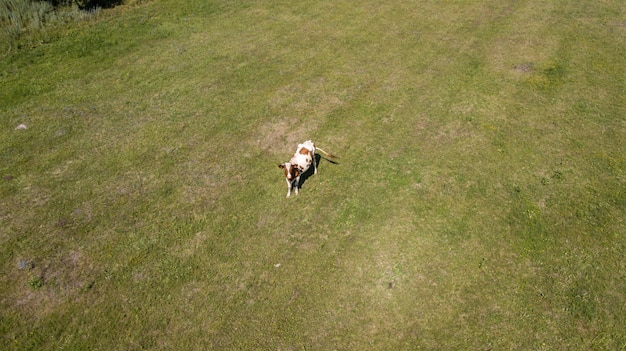 Luchtfoto van een groep koeien en hun kalveren Premium Foto