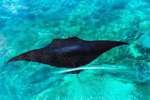 Luchtfoto van een zwarte pijlstaartrog swimmimg in een heldere blauwe zee op manta point Premium Foto