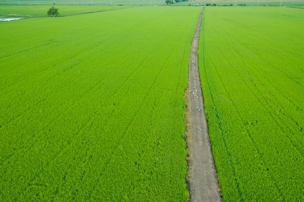 Luchtfoto van vliegende drone van rijst veld Premium Foto