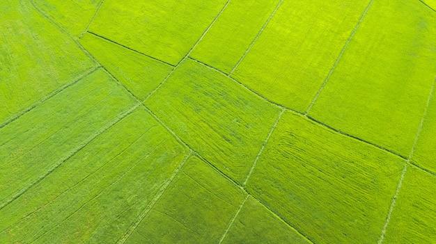 Luchtmeningspadievelden in de ochtend, thailand Premium Foto