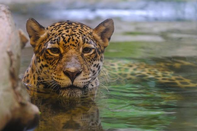 Luipaard die in het water kijkt Premium Foto