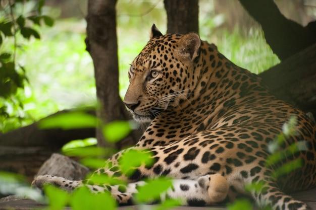 Luipaard in de dierentuin Premium Foto