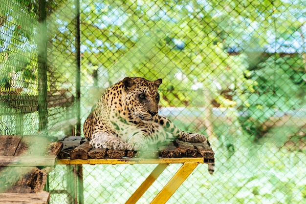 Luipaard liggend op hout Premium Foto
