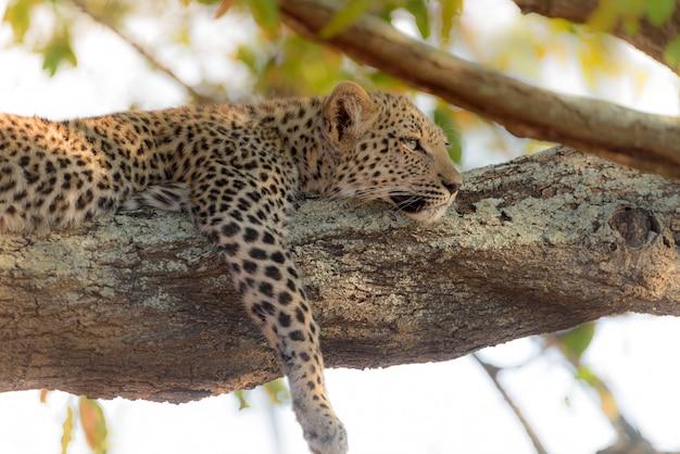 Luipaard tot op een boom Gratis Foto