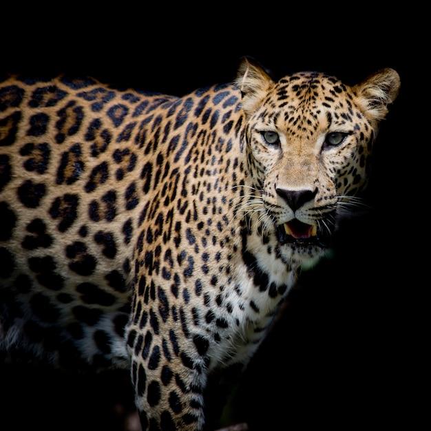 Luipaardportret Premium Foto