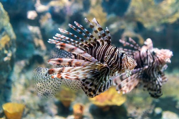 Luna lionfish die in de tropische overzees zwemt. Premium Foto