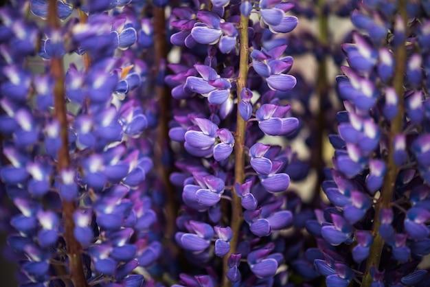 Lupine bloemen in een boeket Premium Foto