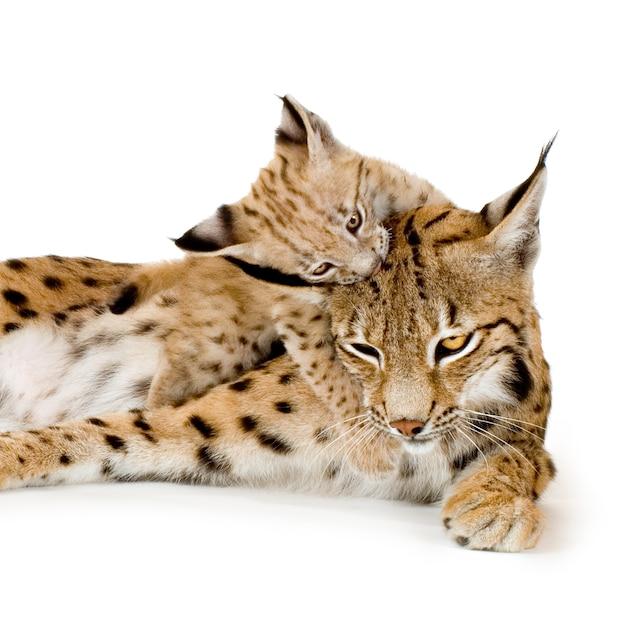 Lynx en haar welp vooraan op een witte muur Premium Foto