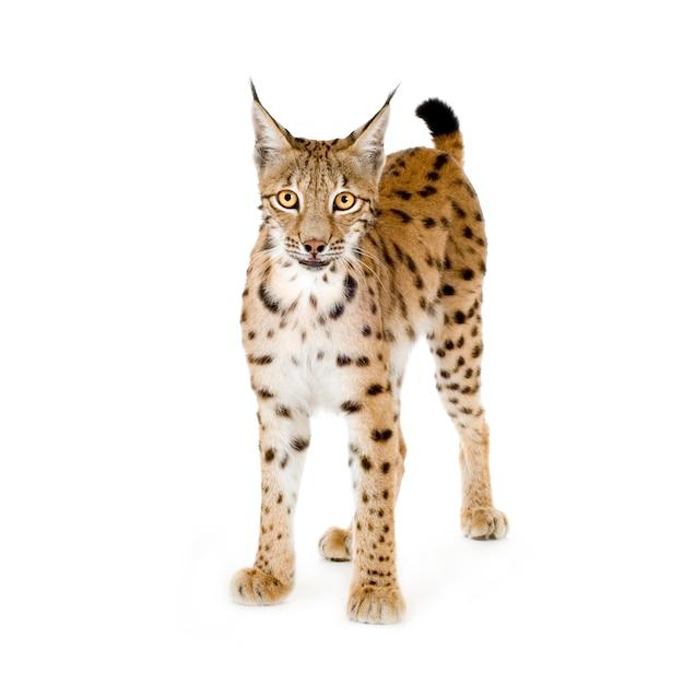 Lynx op wit Premium Foto