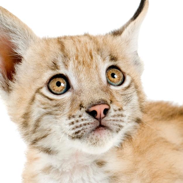 Lynx welp op wit Premium Foto