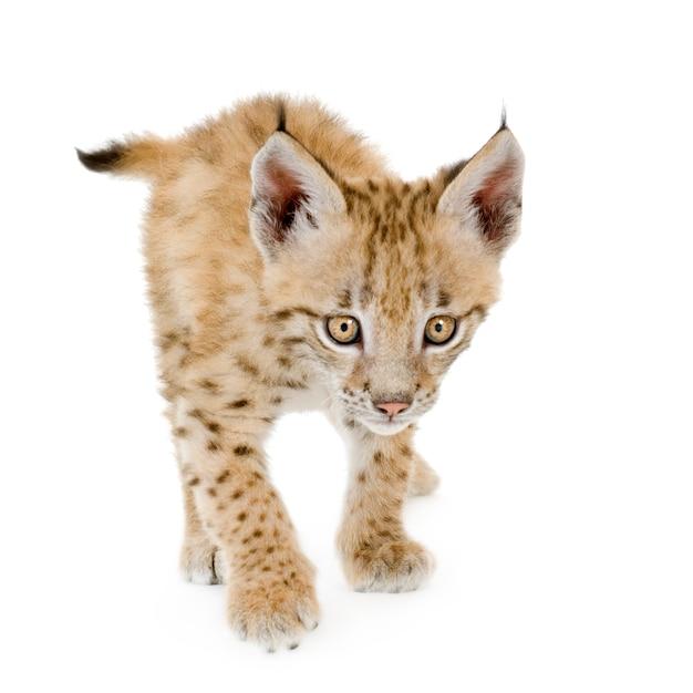 Lynxwelp vooraan op een witte muur Premium Foto