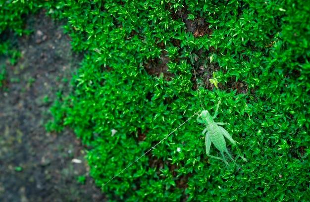 Macro geschoten detail van kleine sprinkhaan op groen gras. insectenecologie. klein dier in de wereld. grasshopper's levenscyclus Premium Foto