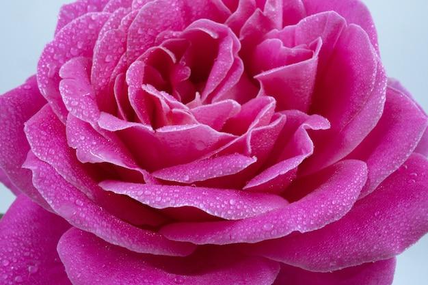 Macro-opname van een mooie roze roos met waterdruppels Gratis Foto