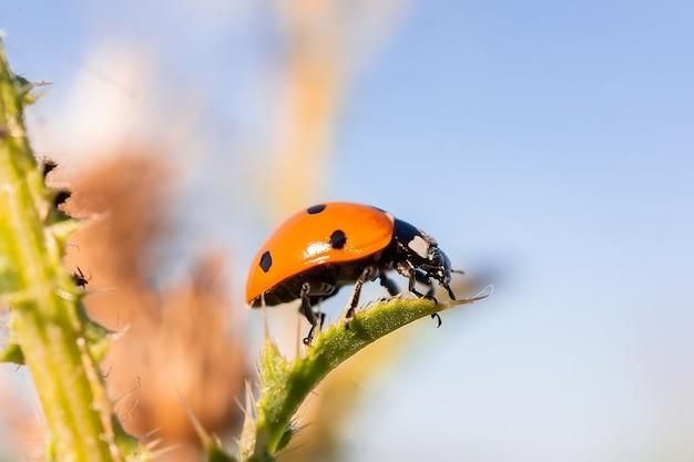 Macro van een lieveheersbeestje (coccinella magnifica) op verbena doorbladert bladluizen eten Premium Foto