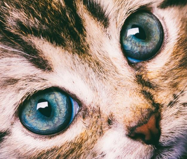 Macrofotografie leuk kattengezicht met blauwe ogenclose-up Premium Foto