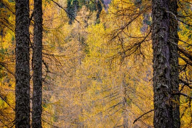 Magische weergave van gele lariksboomtakken in de herfstseizoen Premium Foto