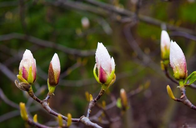 Magnoliaknop op boom dichte omhooggaand in de lentepark Premium Foto