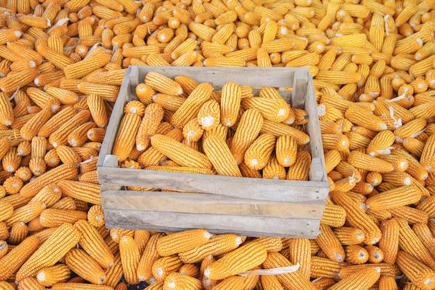 Maïs of maïs voor verwerking tot voeder Premium Foto