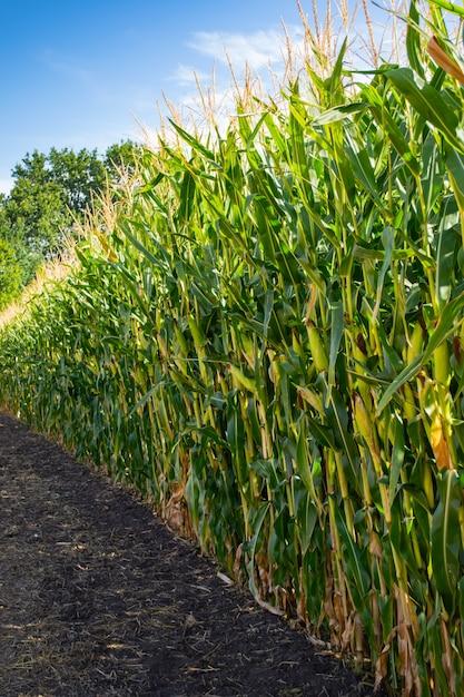 Maïsveld in de periode van rijpheid van melkkorrels. Premium Foto
