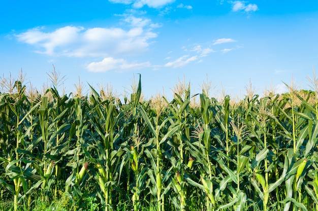 Maïsveld in duidelijke dag, graanboom bij landbouwgrond met blauwe bewolkte hemel Premium Foto