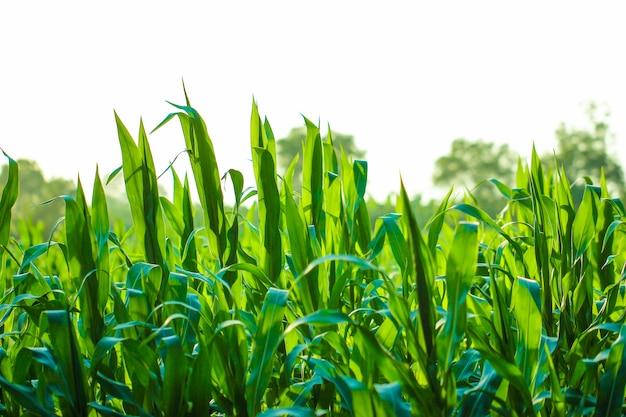 Maïsveld, indische landbouw Premium Foto