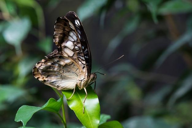 Majestueuze bruine vlinder in natuurlijke habitat Gratis Foto