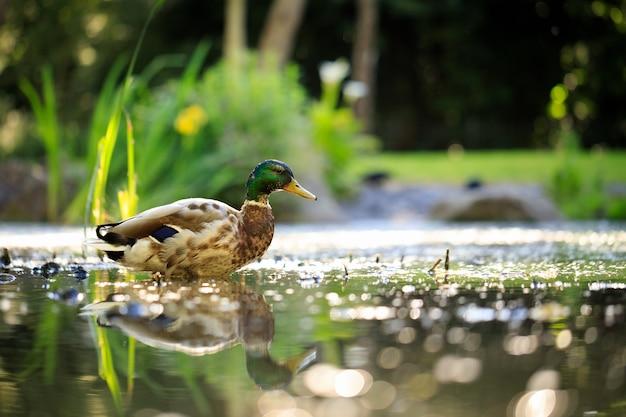 Mallard duck zwemmen in de vijver in het park Gratis Foto