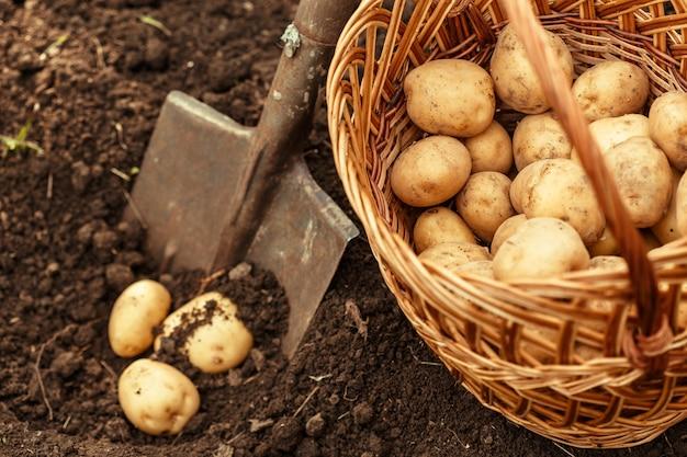 Mandje van verse smakelijke nieuwe aardappelen Premium Foto