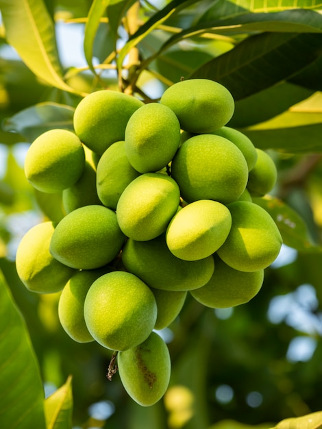 Mango is de vrucht van de thaise economie Premium Foto