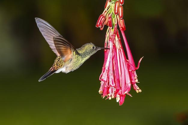 Mannelijke gestreepte kolibrie eupherusa eximia Gratis Foto