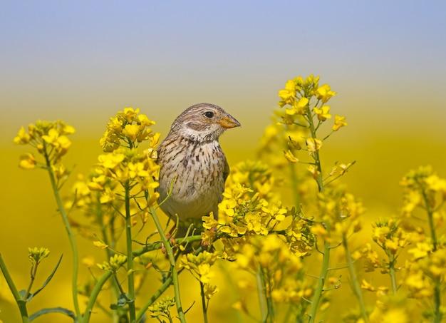 Mannetjesgors (emberiza calandra) in broedkleed gefilmd op de takken van bloeiend koolzaad Premium Foto