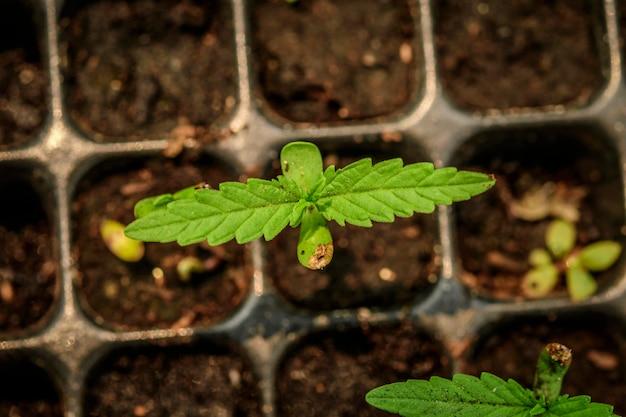Marihuana groeit uit zaad, jonge plant schot Premium Foto