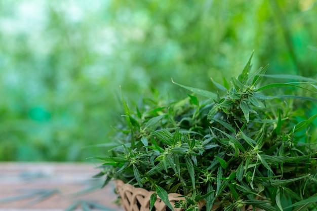 Marihuanablad. Gratis Foto