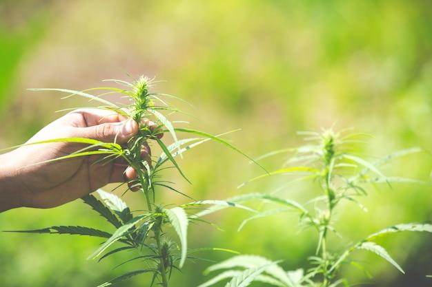 Marihuanabladeren, cannabis op mooie achtergrond. Gratis Foto