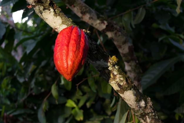Mazorca de cacao Premium Foto