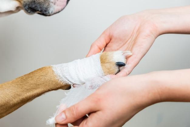 Medische behandeling van huisdierenconcept: het verbinden van de poot van een hond. handen die verband toepassen op een gewond lichaamsdeel van een hond, close-upmening. Premium Foto