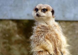 Meerkat, meerkat Gratis Foto