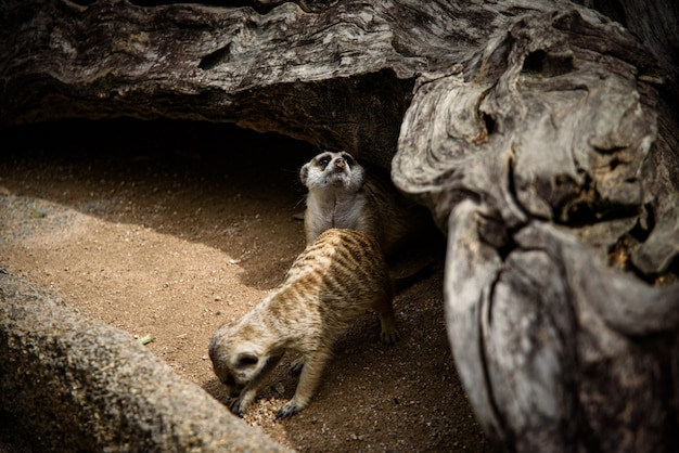 Meerkat, suricata-suricatta die op grond leeft Premium Foto