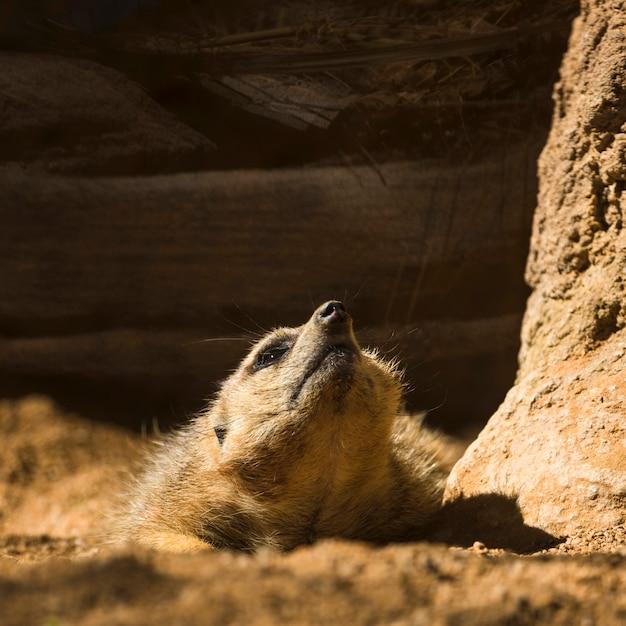 Meerkat Gratis Foto