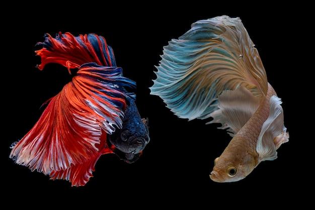 Meerkleurig siamese vechtvis, vechtvis, betta splendens Premium Foto