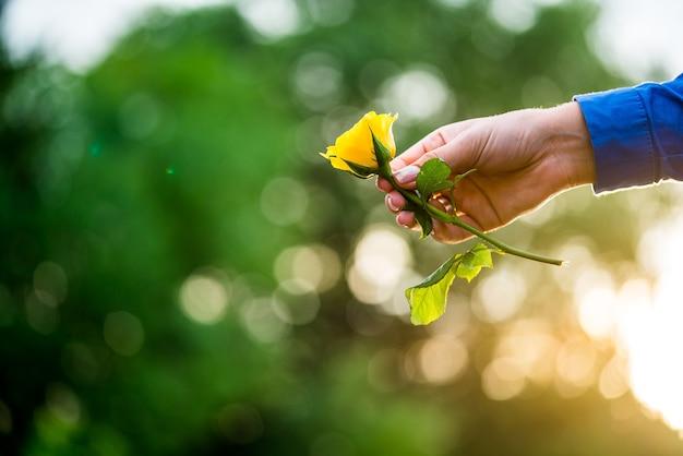 Meisje handen met gele roos Premium Foto