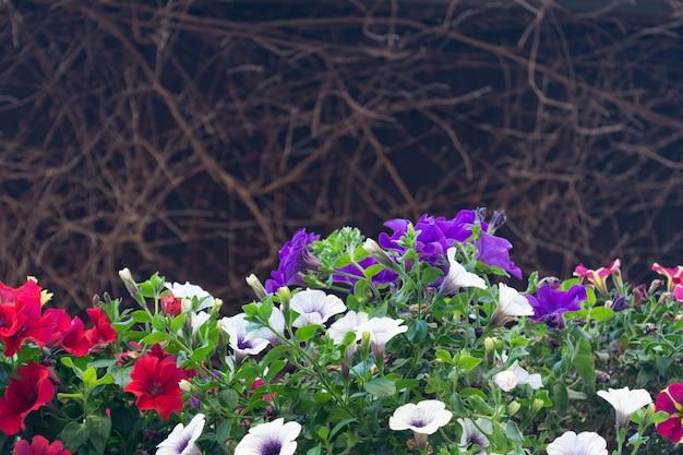 Mening van de bloeiende petunia van verschillende kleuren tegen de achtergrond van een droge wijnstok. Premium Foto