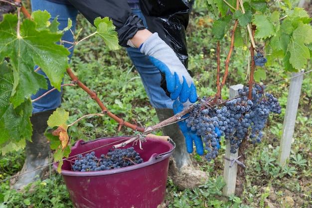 Mens die organische druiven van wijnstok op de oogsttijd van de de wijngaardoogst van de de herfstdag met de hand plukken bij het platteland Premium Foto