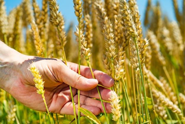 Mens houdt tarwe in zijn hand op de achtergrond van veld in de zomer Premium Foto