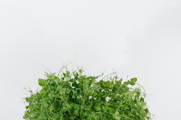 Micro-groene erwt ontspruit close-up op een wit oppervlak in een pot met aarde. gezonde voeding en levensstijl. Premium Foto