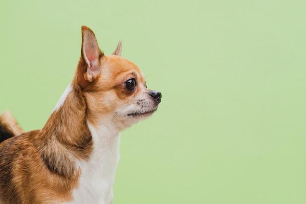 Middelgroot schot van chihuahuahond op groene achtergrond Gratis Foto
