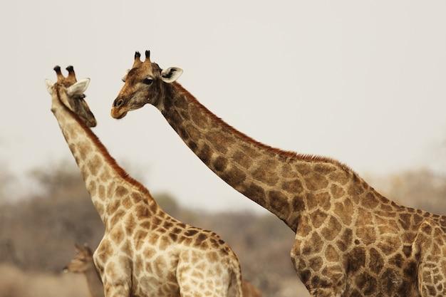Midden schot van twee giraffen die met elkaar in wisselwerking staan Gratis Foto