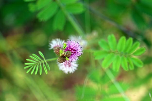 Mimosa pudica of gevoelige plant paarse boeket bloemen bloeien Premium Foto