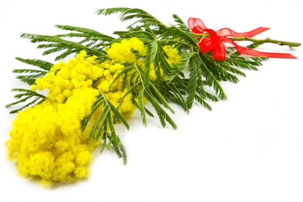 Mimosa, vrouwendag Premium Foto