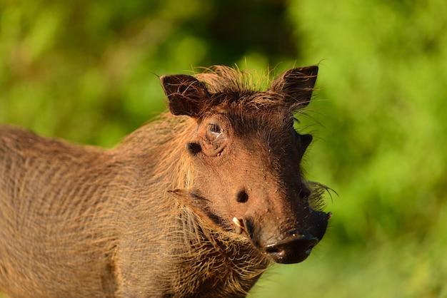 Modderig wrattenzwijn in de natuur Gratis Foto